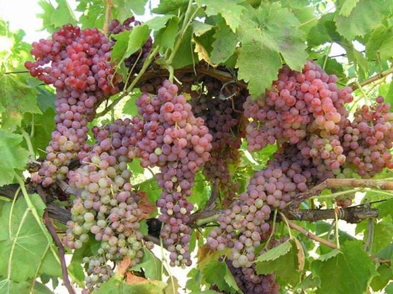 На фото сорт винограда Шасла северная
