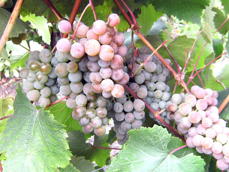 Ягода винограда Шасла северная на фото
