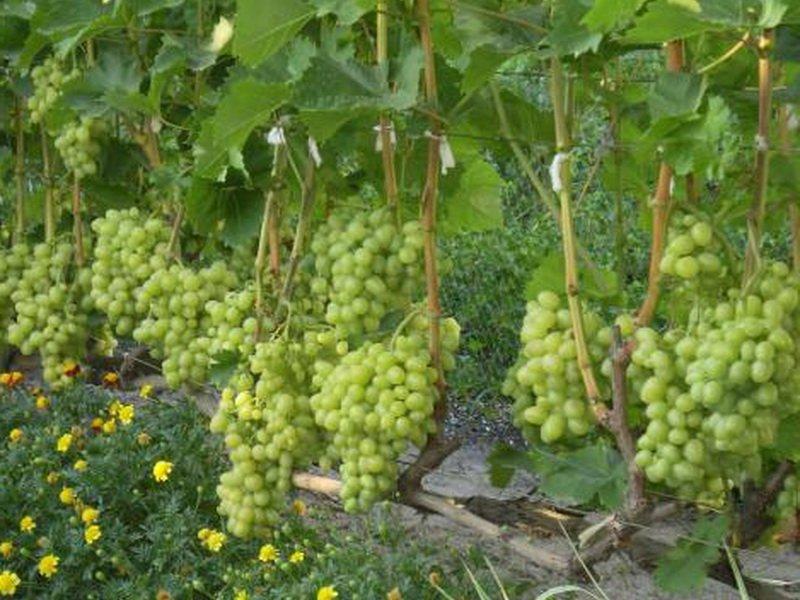 На фото сорт винограда Московский белый