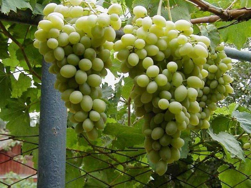 Ягода винограда Московский белый на фото