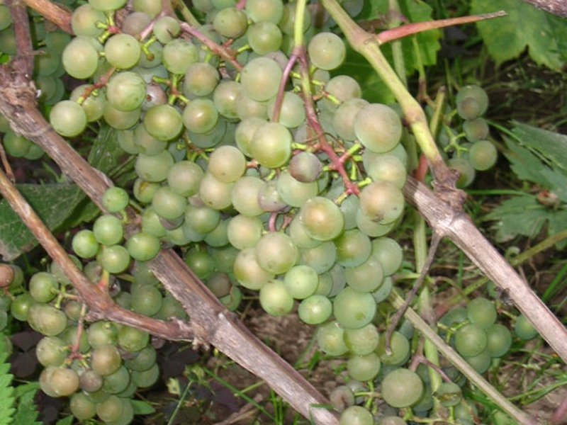 На фото сорт винограда Московский ранний