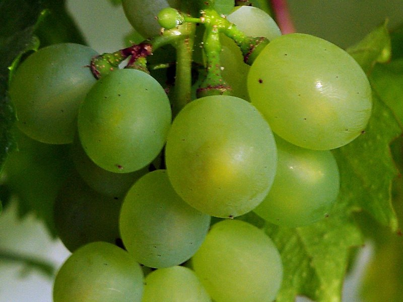 Ягода винограда Московский ранний на фото