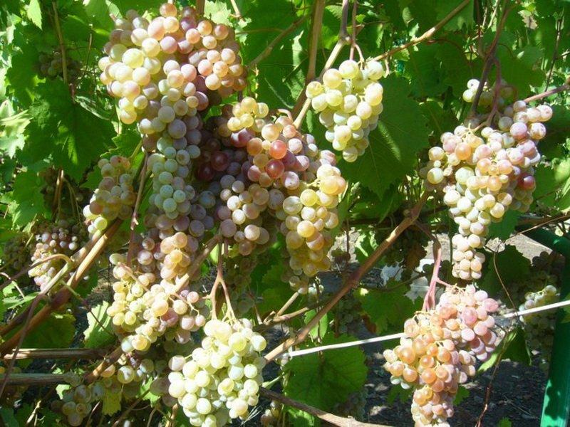 На фото сорт винограда Московский розовый