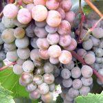 Лучшие промышленные сорта винограда