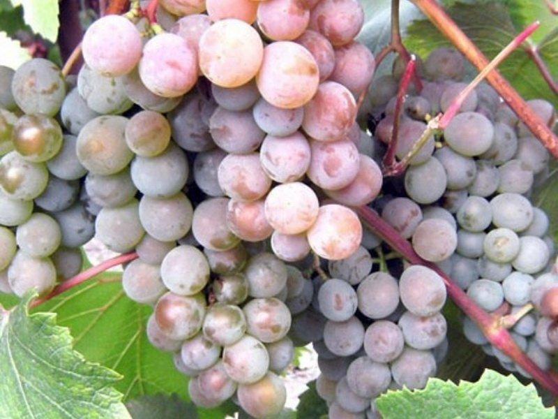 Ягода винограда Московский розовый на фото