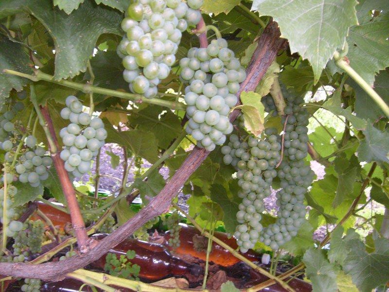 На фото сорт винограда  Московский устойчивый