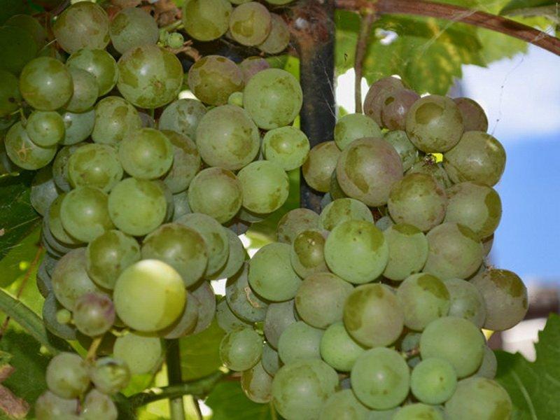 Ягода винограда  Московский устойчивый на фото