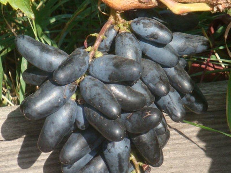 Ягода винограда Московский черный на фото