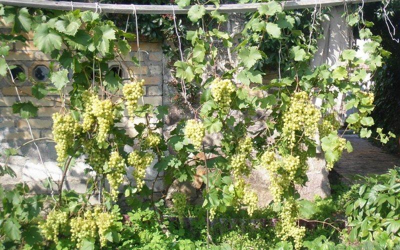 Какие морозоустойчивые сорта винограда лучше сажать в Подмосковье (с фото) фото