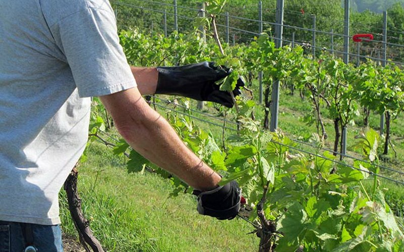 Способы формирования лозы винограда для начинающих (с фото и видео)
