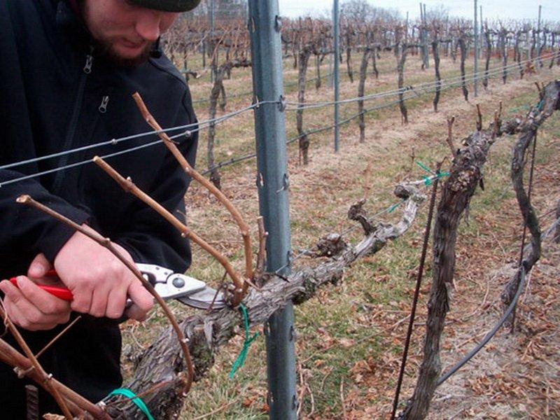 Выращивание винограда и обрезка