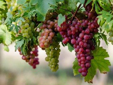 Увеличение урожая винограда и ускорение плодоношения