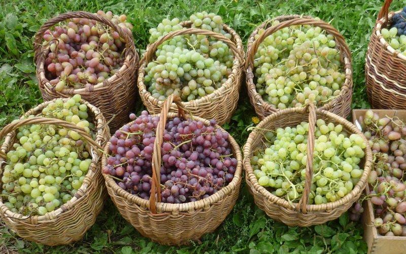Повышение урожайности винограда: как увеличить плодоношение механическими способами