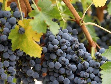 Виноград: ботаническое описание и классификация