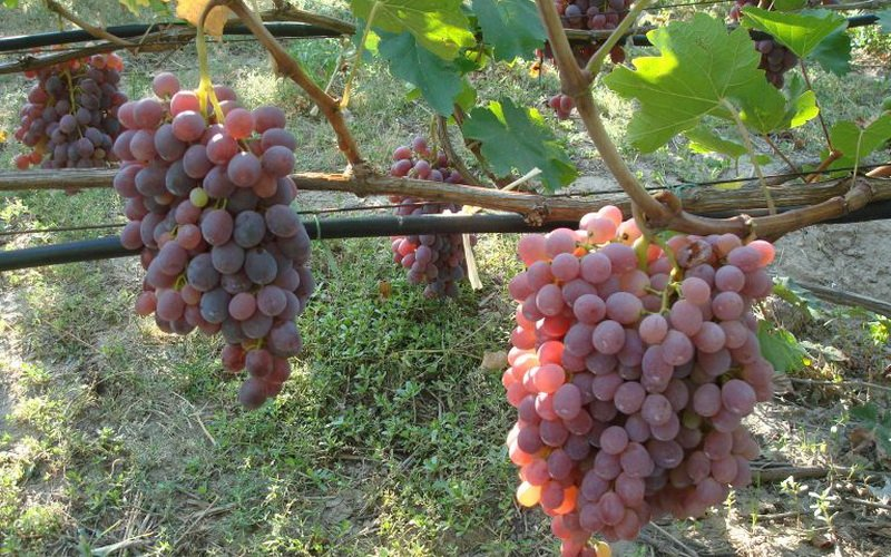 На фото сорт винограда Тайфи розовый