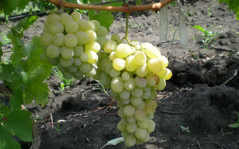 На фото сорт винограда   Карабурну