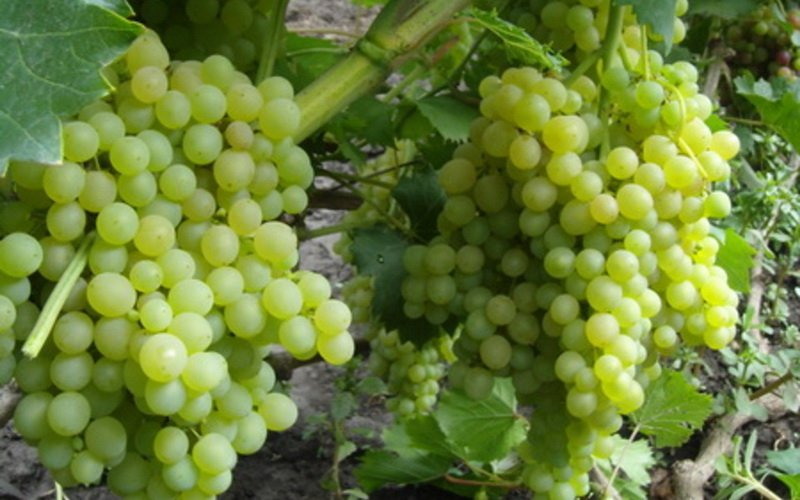 На фото сорт винограда   Кишмиш белый