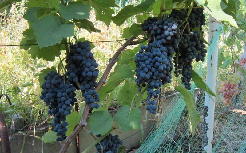На фото сорт винограда  Кишмиш черный