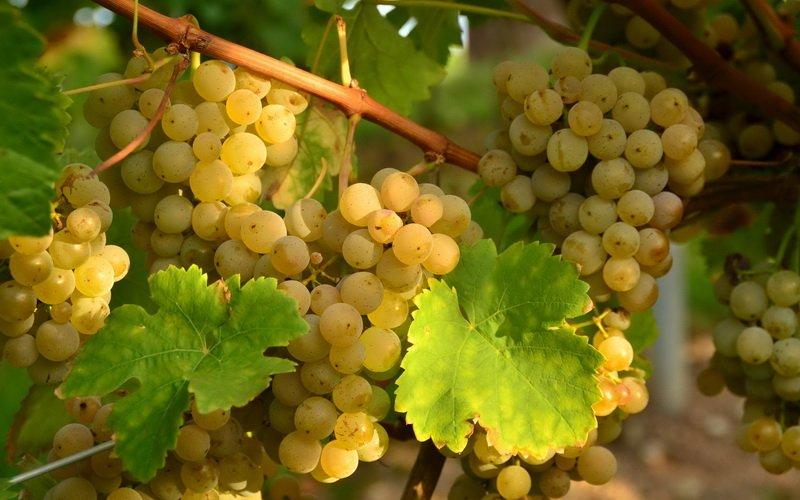 На фото сорт винограда Тербаш