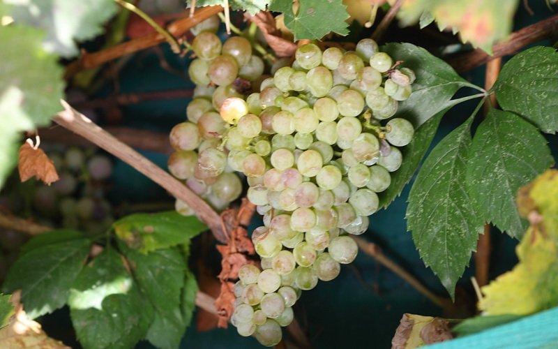 На фото сорт винограда Кульджинский