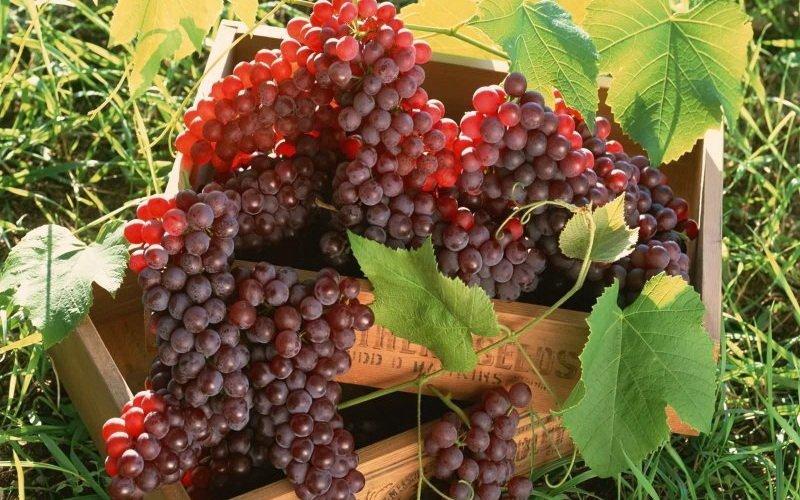 На фото сорт винограда Матраса