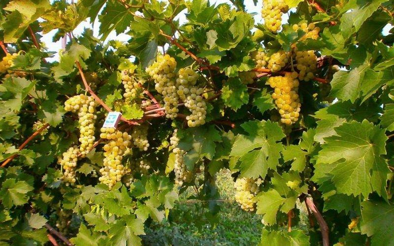 На фото сорт винограда Мускат белый