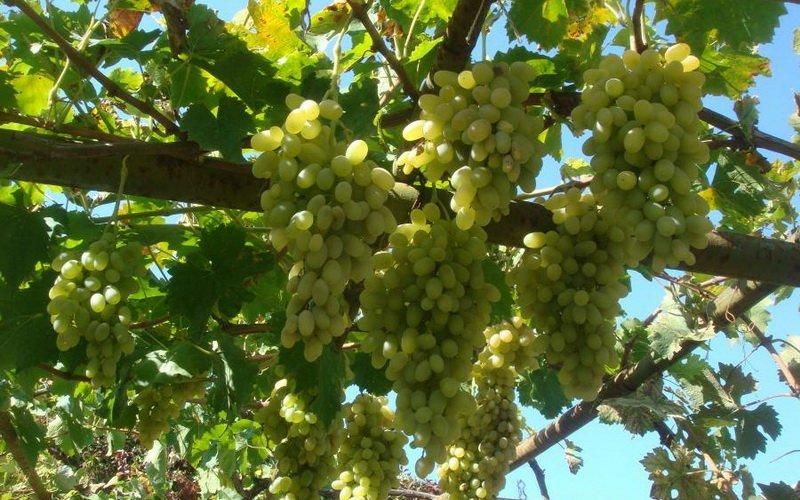 На фото сорт винограда Мехали