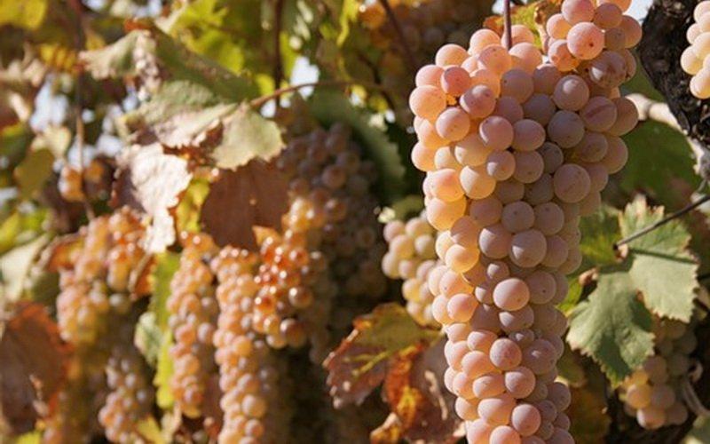 На фото сорт винограда Ркацители