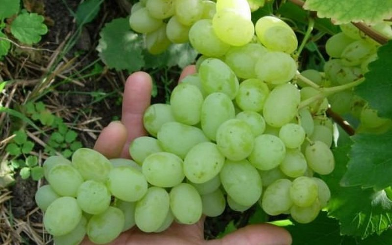 На фото сорт винограда Пухляковский