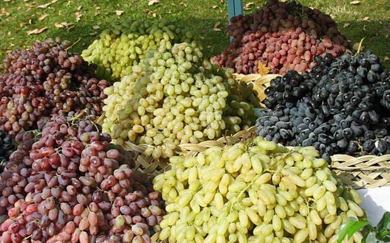 История винограда в средней полосе России