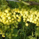 Лучшие сорта винограда десертного и мускатного типа. Обзор лучших сортов винограда для всех регионов России