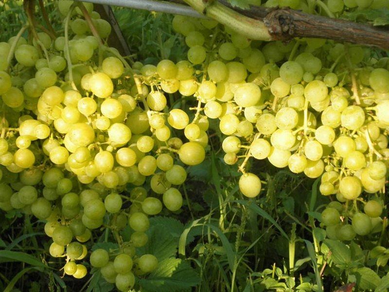 На фото сорт винограда  Августовский