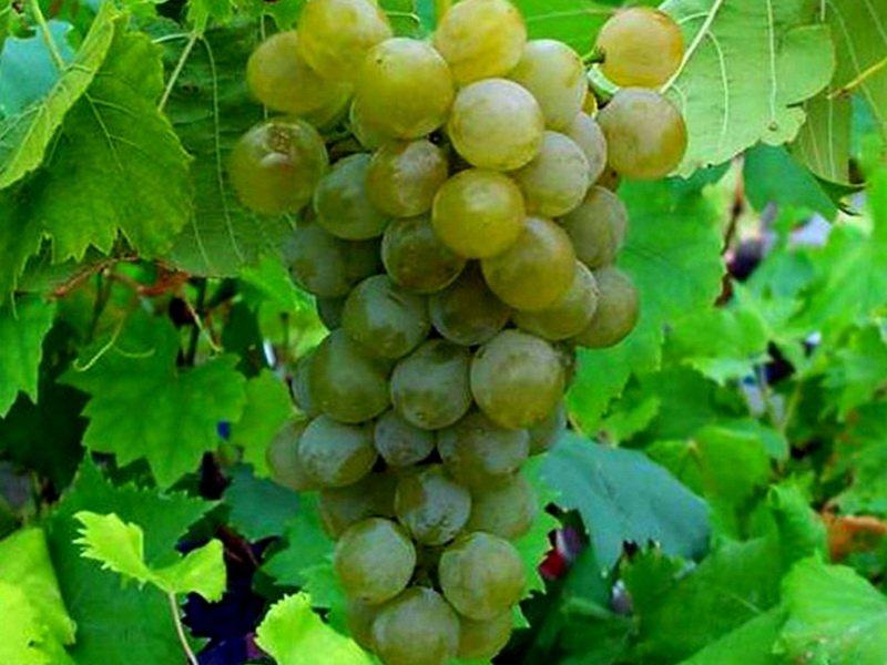 Ягода винограда Августовский на фото