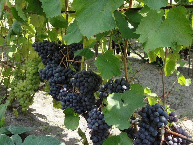 На фото сорт винограда  Агат донской