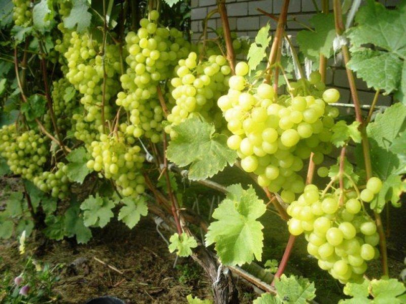На фото сорт винограда  Алешенькин