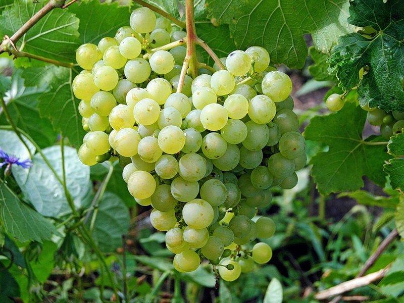 Ягода винограда  Алешенькин на фото