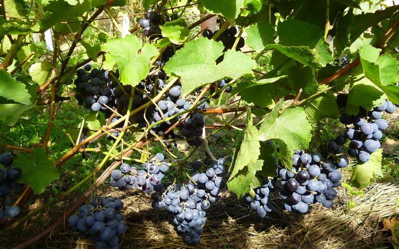 Лучшие морозостойкие сорта винограда столового и технического назначения