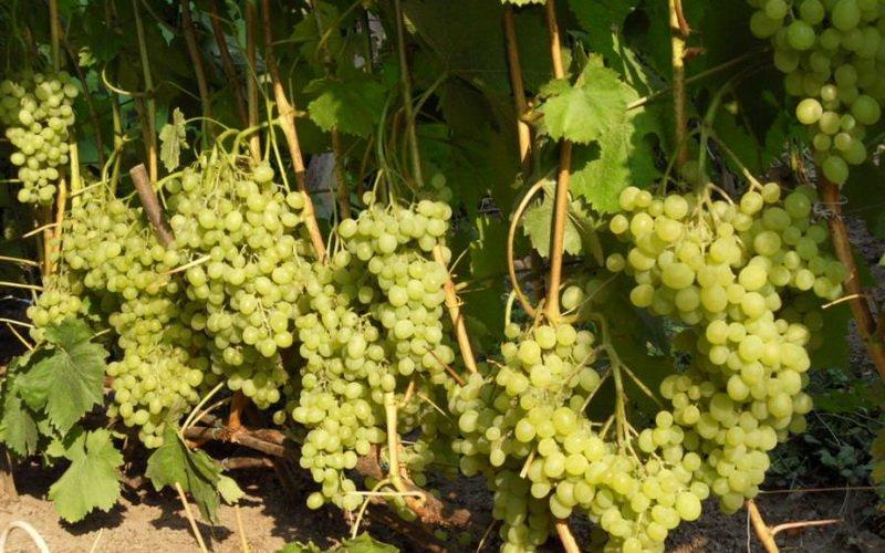 Лучшие морозостойкие сорта винограда столового и технического назначения фото