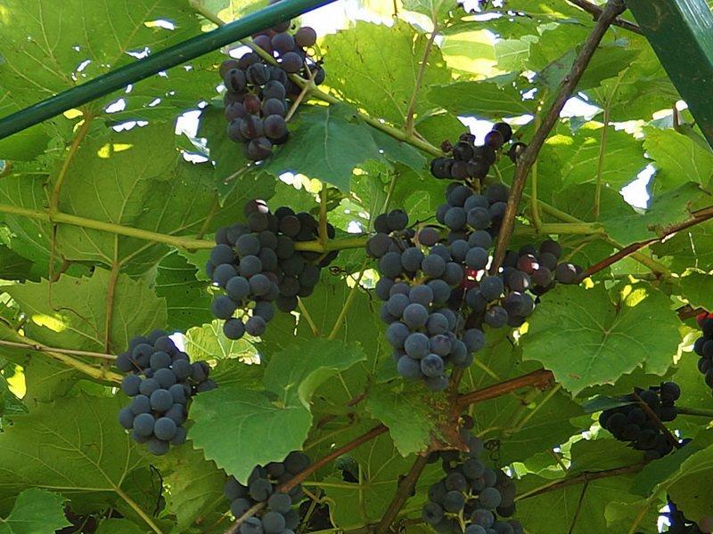 На фото сорт винограда  Альфа