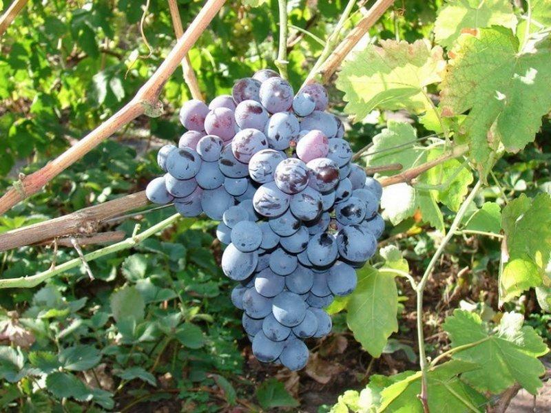Ягода винограда  Альфа  а фото