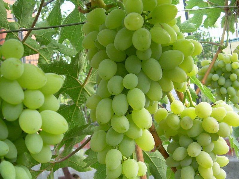 На фото сорт винограда  Баклановский