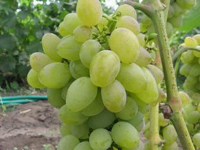 Ягода винограда  Баклановский на фото