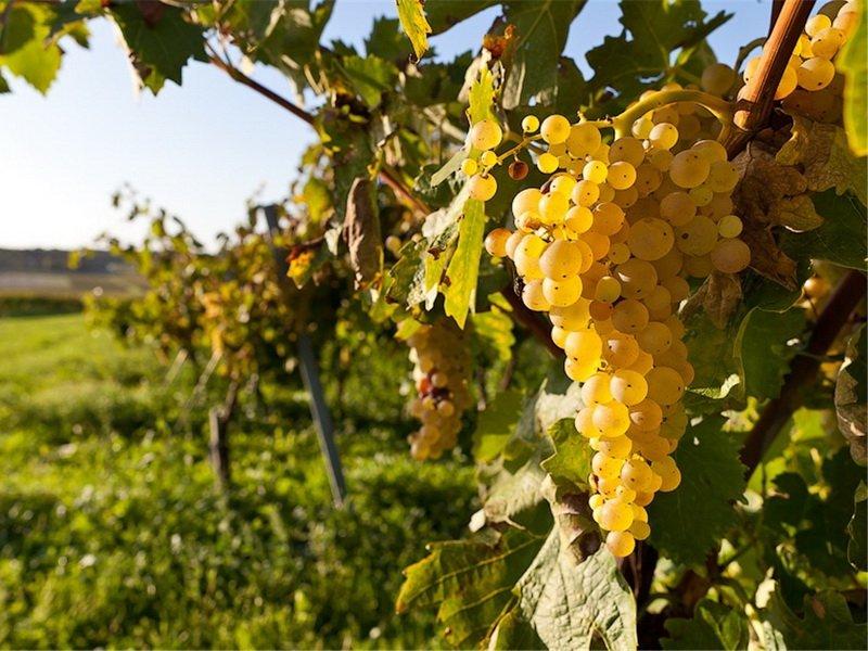 На фото сорт винограда Богатырский