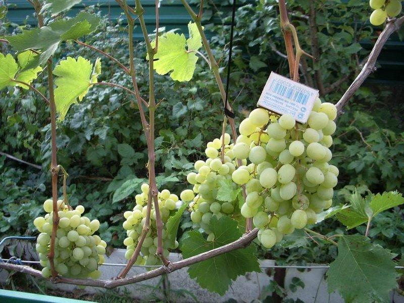 На фото сорт винограда Восторг