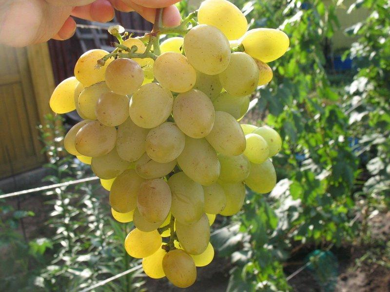 Ягода винограда  Восторг на фото