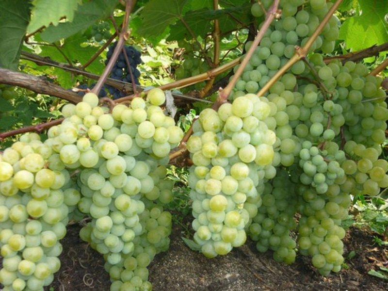 На фото сорт винограда Восторг мускатный