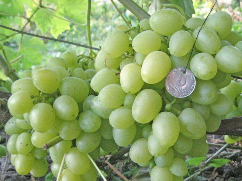 Ягода винограда  Восторг мускатный на фото