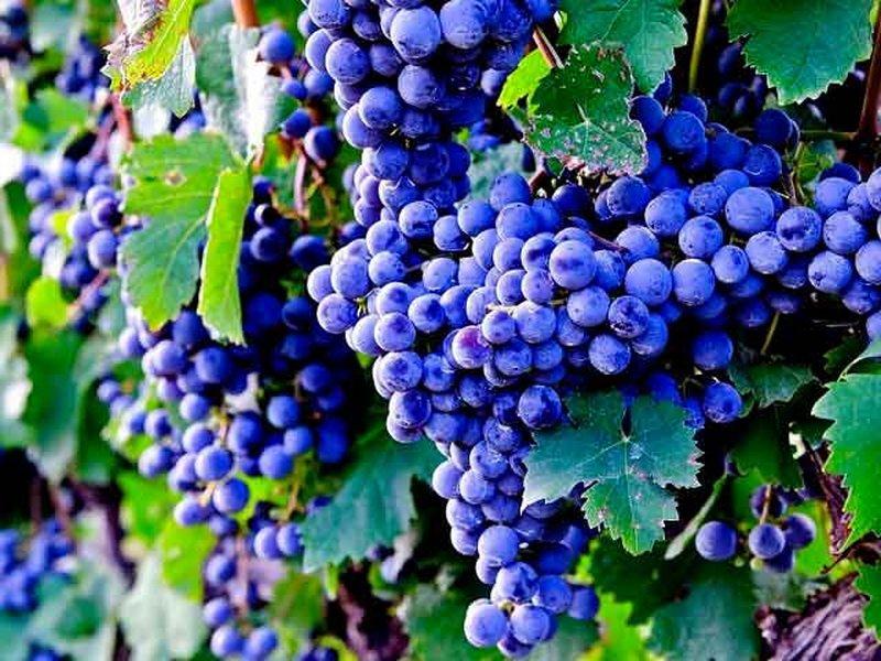 На фото сорт винограда  Двиетес зила