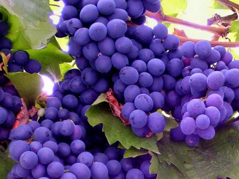 Ягода винограда  Двиетес зила на фото
