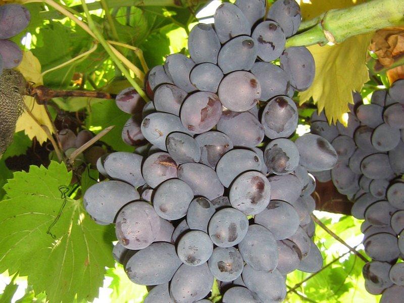 Ягода винограда Декабрьский на фото